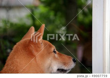 柴犬 49007759