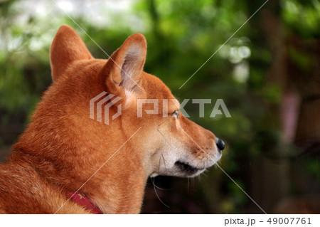 柴犬 49007761