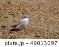 ユリカモメ カモメ 鳥の写真 49013097