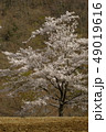 桜 木 春の写真 49019616