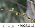 小枝 枝 植物の写真 49023818