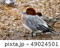 鳥 鴨 野鳥の写真 49024501