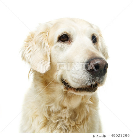 beautiful adult golden retriver dog on white background 49025296