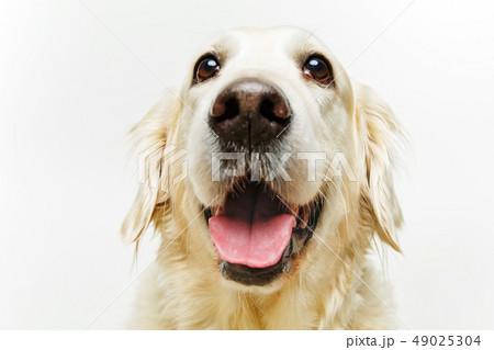beautiful adult golden retriver dog on white background 49025304