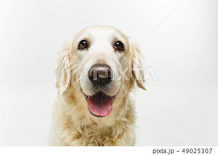 beautiful adult golden retriver dog on white background 49025307