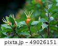 梔子 巵子 山梔子の写真 49026151