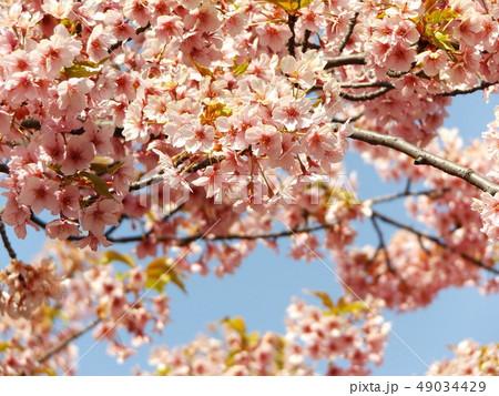 葉桜になった稲毛海岸駅前の河津桜の花 49034429