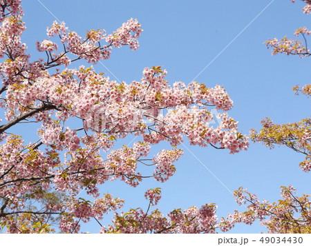 葉桜になった稲毛海岸駅前の河津桜の花 49034430
