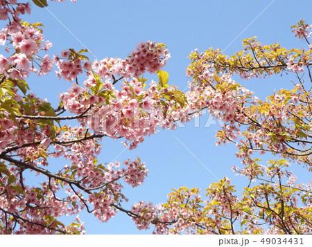 葉桜になった稲毛海岸駅前の河津桜の花 49034431