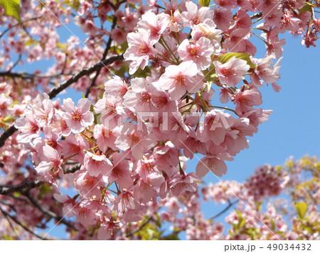 葉桜になった稲毛海岸駅前の河津桜の花 49034432