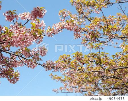 葉桜になった稲毛海岸駅前の河津桜の花 49034433