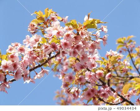 葉桜になった稲毛海岸駅前の河津桜の花 49034434