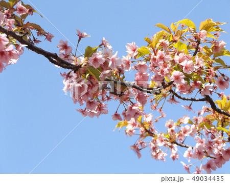 葉桜になった稲毛海岸駅前の河津桜の花 49034435
