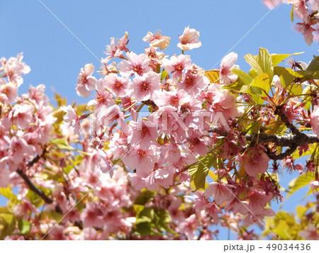 葉桜になった稲毛海岸駅前の河津桜の花 49034436