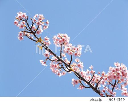 葉桜になった稲毛海岸駅前の河津桜の花 49034569