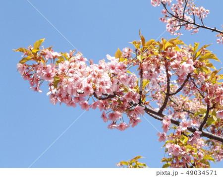葉桜になった稲毛海岸駅前の河津桜の花 49034571