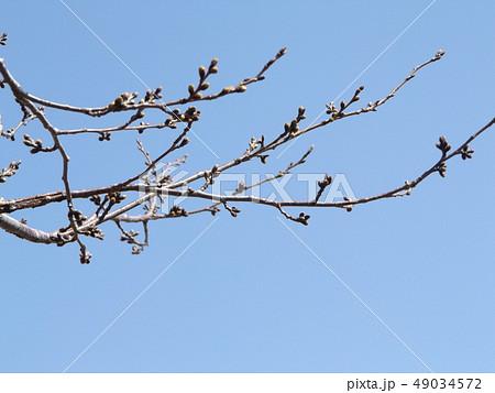 花より葉が先に出るヤマザクラの蕾 49034572