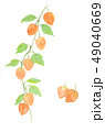 ほおずき 日本画 水彩画のイラスト 49040669