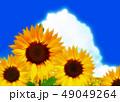 向日葵 49049264