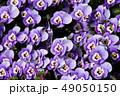 パンジー 花 植物の写真 49050150