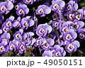 パンジー 花 植物の写真 49050151