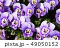 パンジー 花 植物の写真 49050152