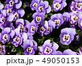 パンジー 花 植物の写真 49050153