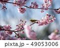 桜 春 小鳥の写真 49053006