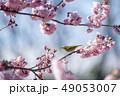 桜 春 小鳥の写真 49053007