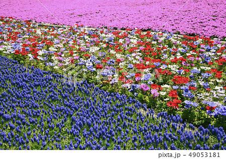 山梨の花畑 49053181