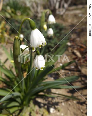 スノーフレークの鈴蘭のような白い花 49053965