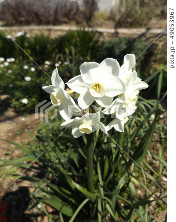1月から咲き始めた副花冠も白いスイセンの白い花 49053967