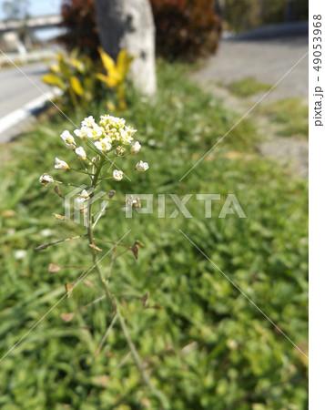 道端に咲くペンペングサの白い花 49053968
