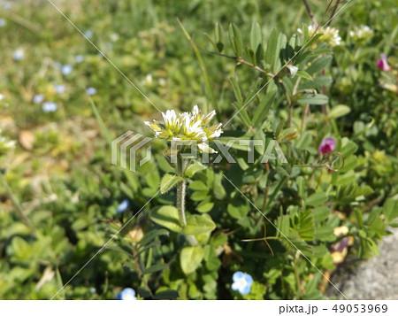 道端に咲くオランダミミナグサの白い花 49053969