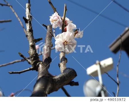 南高梅の白い花 49053972