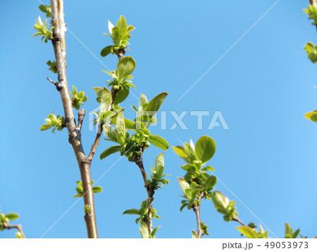黄緑色の若葉が育つカリンの木 49053973