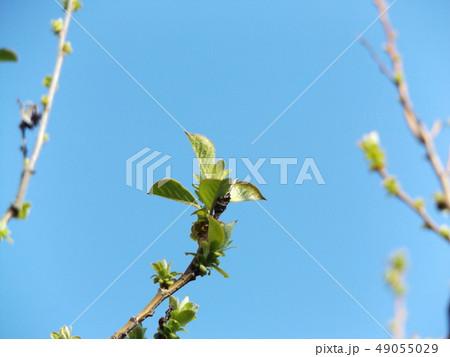 黄緑色の若葉が育つカリンの木 49055029