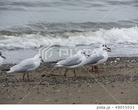 稲毛海岸に集まった渡り鳥は白いユリカモメ 49055033