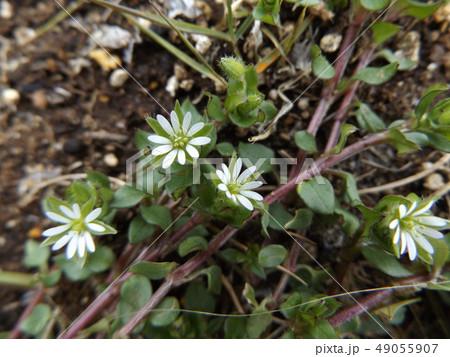 可愛い小さいハコベの白い花 49055907