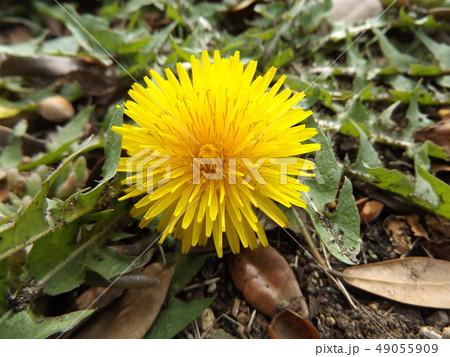綺麗な黄色い花はタンポポの花 49055909