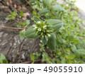 可愛い小さいハコベの白い花 49055910