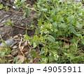 可愛い小さいハコベの白い花 49055911