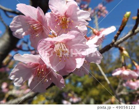 稲毛海岸駅前の満開の河津桜の花 49056122