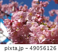 稲毛海岸駅前の満開の河津桜の花 49056126