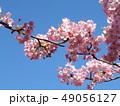 稲毛海岸駅前の満開の河津桜の花 49056127