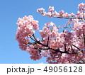 稲毛海岸駅前の満開の河津桜の花 49056128