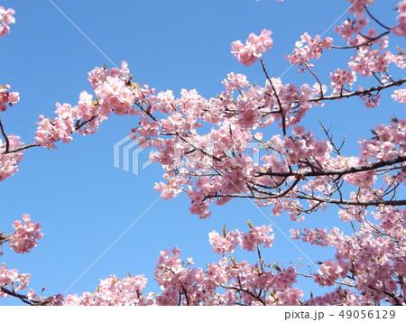 稲毛海岸駅前の満開の河津桜の花 49056129