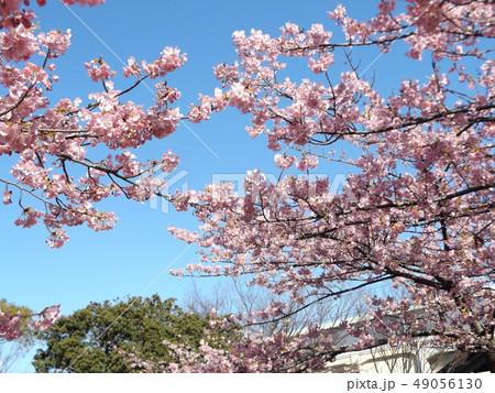 稲毛海岸駅前の満開の河津桜の花 49056130