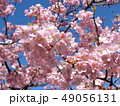 稲毛海岸駅前の満開の河津桜の花 49056131