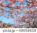 葉桜になった稲毛海岸駅前の河津桜の花 49056638